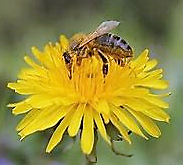 A Great Bee Mystery